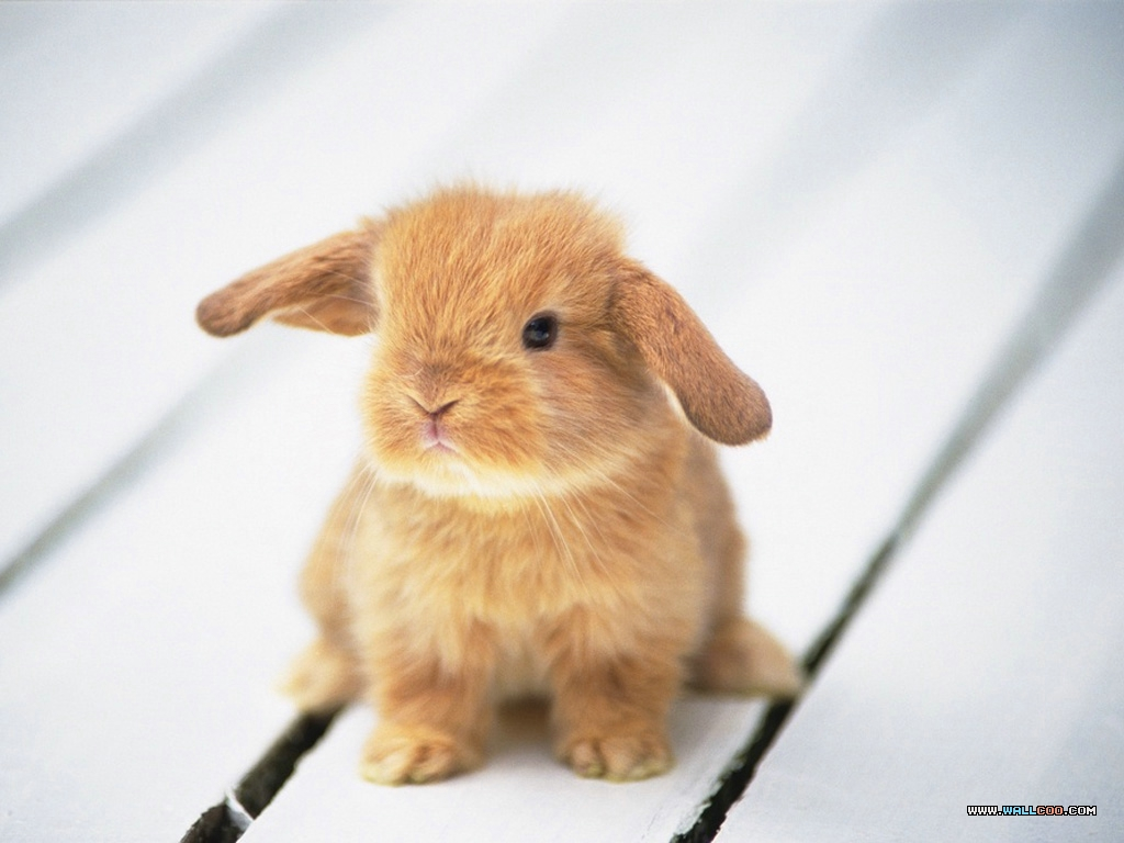Bunny-Wallpapers-bunny-rabbits-128637_1024_768