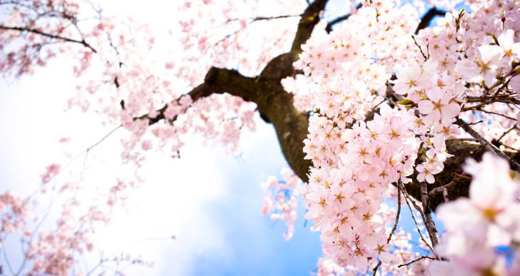 Éld át a japán cseresznyevirágzást Magyarországon
