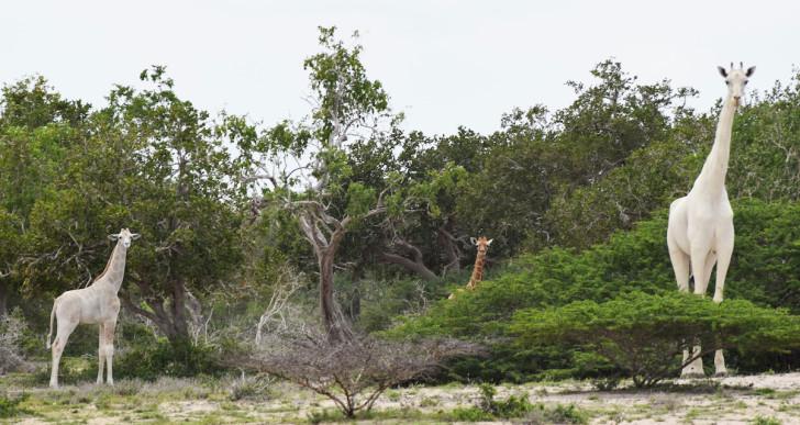 Elképesztő, de igaz: Hófehér zsiráfokat kaptak lencsevégre
