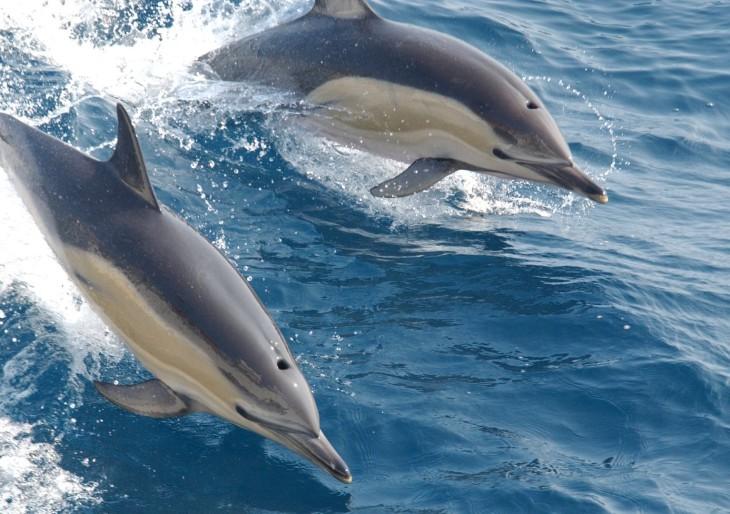 Hihetetlen de igaz! Visszatértek a delfinek a horvát Adriára