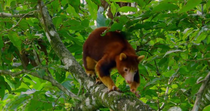 Kihaltnak vélt kengurufaj egyedét találták meg Indonéziában