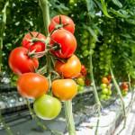 tomato-1310961_1280