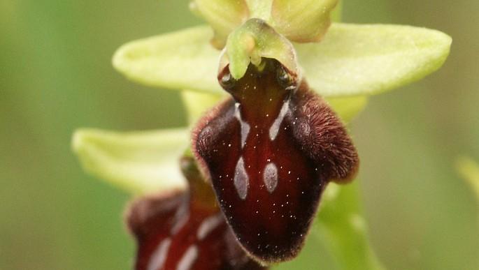 Eltűntnek hitt orchideafajt találtak a Mecsekben