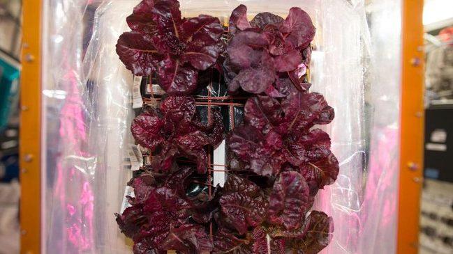 Ilyen lett az űrben termesztett saláta