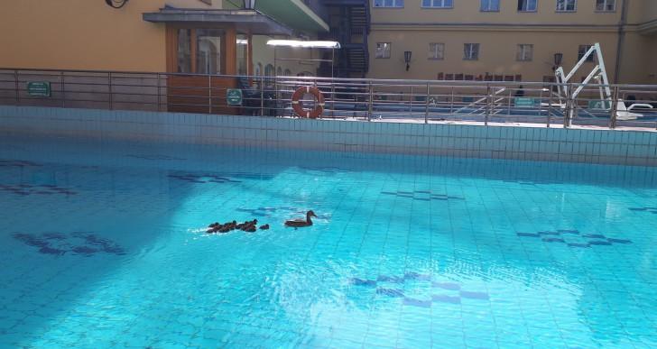 Kiskacsák tanultak úszni a Lukács fürdő medencéjében