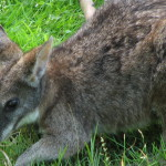 Macropus-parma-parma-wallaby