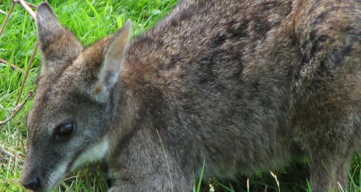 Különleges kenguruk érkeztek a Budapesti állatkertbe