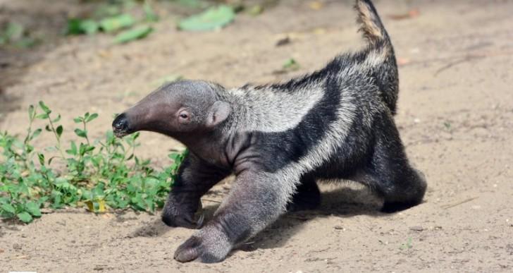 Sörényes hangyászbébi született az Állatkertben